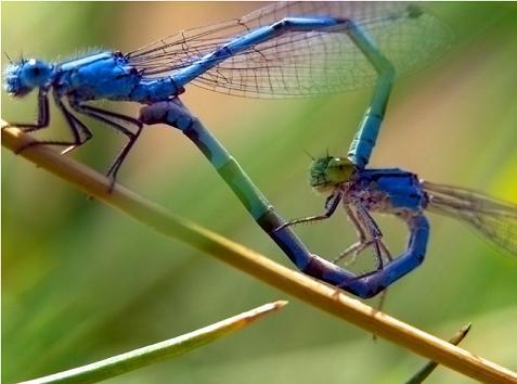 Libélulas 蜻蜓 qīng tíng