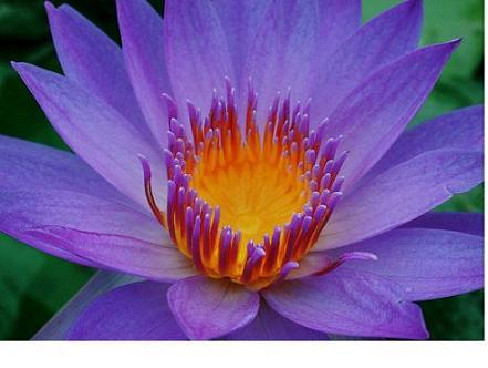 莲花 – La Flor de Loto