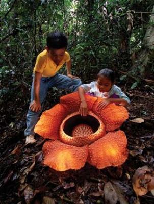 La flor más grande del mundo: Rafflesia arnoldi